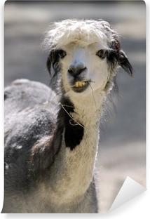 Fototapeta winylowa Face Portret lamy alpaki