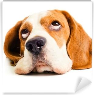 Fototapeta winylowa Głowa beagle