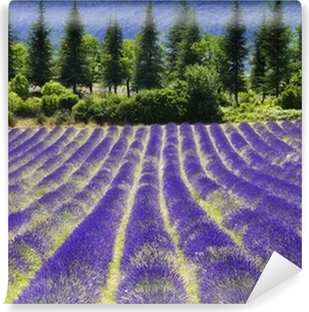 Vinylová Fototapeta Levandule květ blooming.SUmmer background.Provence, Francie.