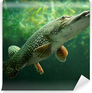 Fototapeta winylowa Podwodne zdjęcie dużego szczupaka (Esox lucius).