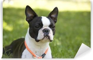 Fototapeta samoprzylepna Boston terrier
