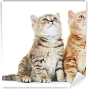 Fototapeta samoprzylepna Brytyjski krótkowłosy kitten Kot samodzielnie