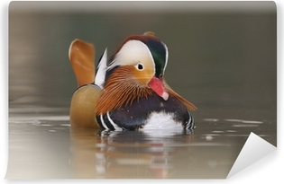 Fototapeta samoprzylepna Mandarin Duck (Aix galericulata)