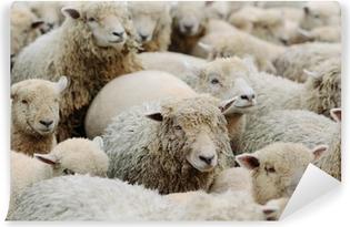 Fototapeta samoprzylepna Owca