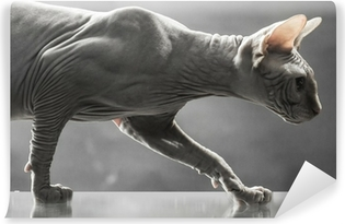 Obraz Na Aluminium Dibond Sfinks Kanadyjski Kot Na Powierzchni