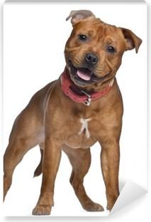 Fototapeta winylowa Staffordshire Bull Terrier, 9 miesięcy z czerwonym kołnierzem