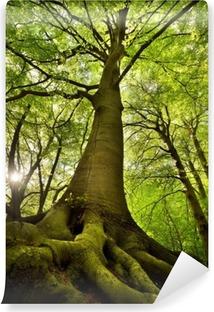 Fototapeta winylowa Stare drzewo buk
