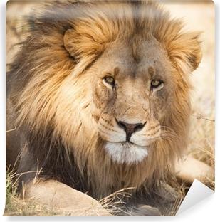Vinylová Fototapeta Velký lev v Zambii, v Africe