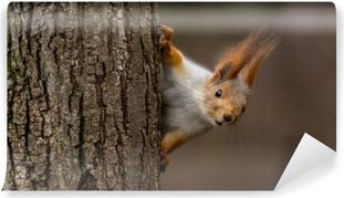 Fototapeta winylowa Zaskoczony wiewiórka, zerkając zza drzewa