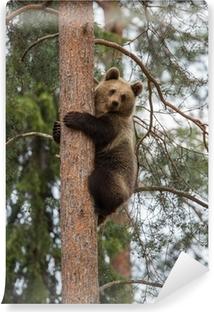 Fototapeta zmywalna Niedźwiedź brunatny wspinaczka drzewa w lesie Tiaga