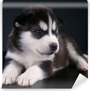 Fototapeta zmywalna Śliczne Siberian Husky puppy