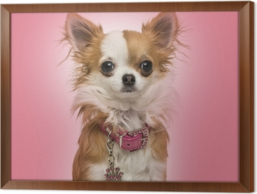 Chihuahua wearing a shiny collar, sitting on pink background Framed Canvas