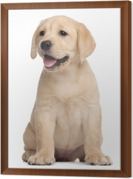 Labrador puppy, 7 weeks old, in front of white background Framed Canvas