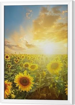 Summer landscape: beauty sunset over sunflowers field Framed Canvas