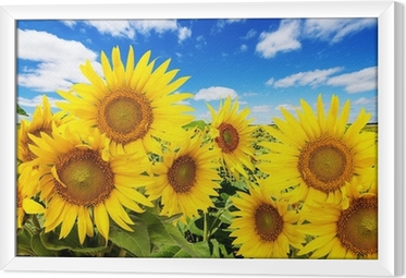 sunflower field and blue sky with clouds Framed Canvas