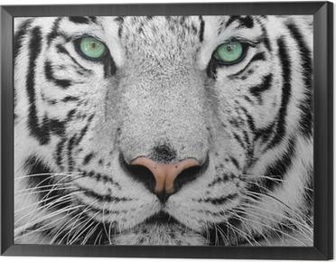 white tiger Framed Canvas