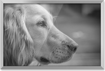 English cocker spaniel portrait black and white Framed Picture