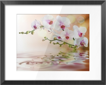 white orchids on water with drop Framed Picture