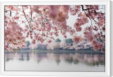 Gerahmtes Leinwandbild Kirschblüten über Tidal Basin in Washington DC