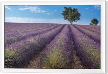 Gerahmtes Leinwandbild Lavendelfeld in Valensole Plateau, Provence (Frankreich)