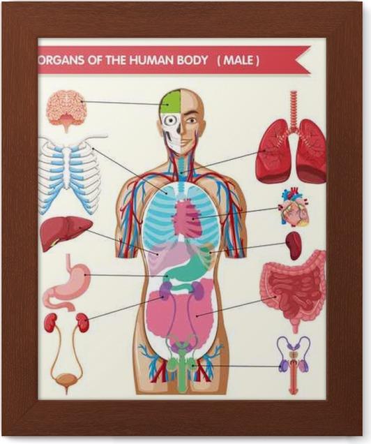 Gerahmtes Poster Diagramm zeigt Organe des menschlichen Körpers ...