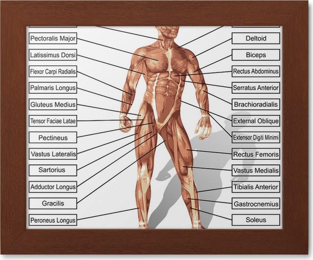 Gerahmtes Poster Vector menschlichen Anatomie Mann mit Muskeln Text ...
