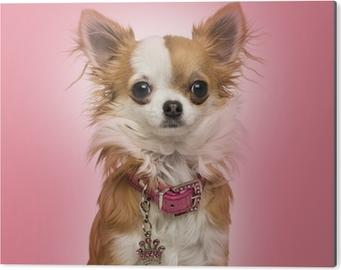 Impressão em Alumínio (Dibond) Chihuahua wearing a shiny collar, sitting on pink background