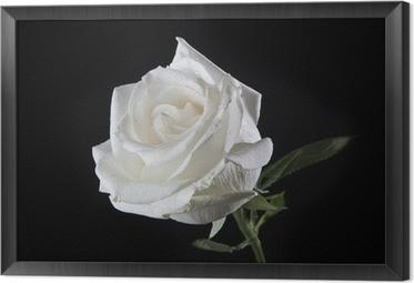 Hvid rose Indrammet fotolærred