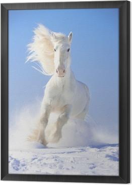 Ingelijst Canvas White horse hengst loopt galop in de voorzijde focus