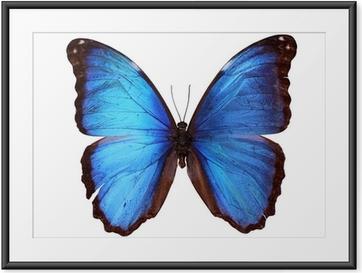 Ingelijste Poster Blauwe Morpho vlinder (Morpho godarti)