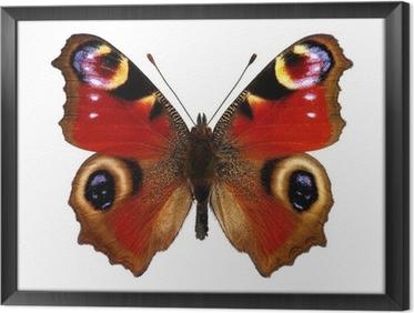 Innrammet Lerret European Peacock butterfly (Inachis io)