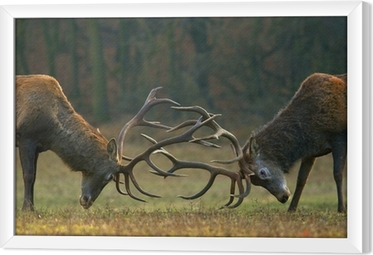 Innrammet lerret Rød hjort kamp