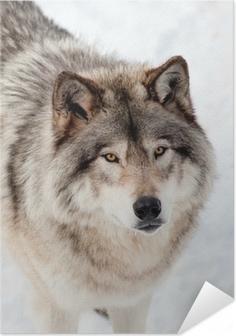 Harmaa susi lumessa etsii kameraan Itsestäänkiinnittyvä juliste