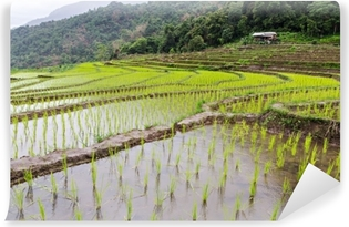 Riisi taimi terassilla riisipelloilla chiang mai, thaimaa Itsestäänkiinnittyvä Valokuvatapetti