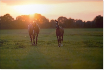 Äitihevos, jolla on varsa maatilalla auringonlaskun aikaan. Geesteren. achter Juliste