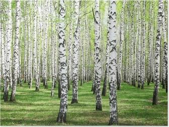 Ensimmäinen kevät vihreät koivupuu Juliste