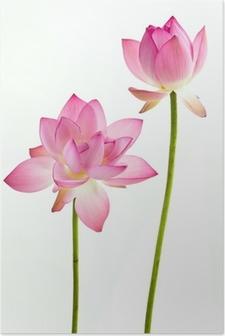 Kaksi pinkki vesililja kukka (lotus) ja valkoinen tausta. Juliste