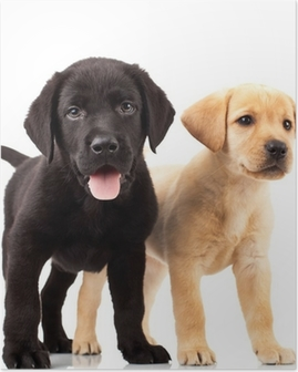 Kaksi söpöä Labrador-pentua Juliste
