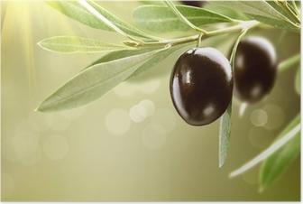 Kasvaa oliiveja. musta kypsä oliivi puussa Juliste