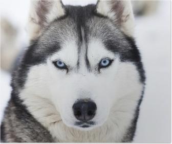 Lähikuva sininen silmät husky Juliste