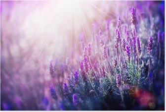 Laventeli kukkia kenttä. kasvava ja kukkiva laventeli Juliste