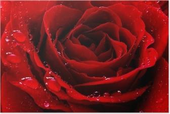 Punainen ruusu vesipisaroilla Juliste
