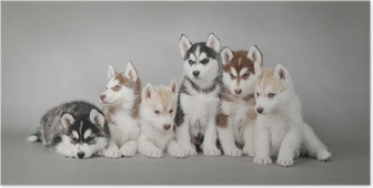 Siberian husky-koiranpennu Juliste