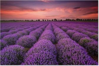 Upea maisema laventeli kenttä auringonlaskun aikaan Juliste