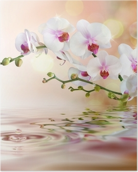 Valkoinen orkideat vedellä pudota Juliste