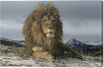 Barbary-leijona, Panthera leo leo Kangaskuva