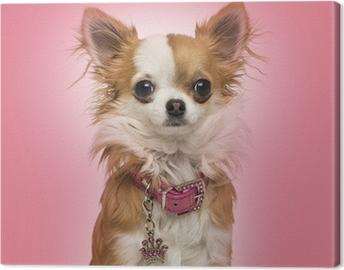 Chihuahua yllään kiiltävä kaulus, istuu vaaleanpunaisella taustalla Kangaskuva