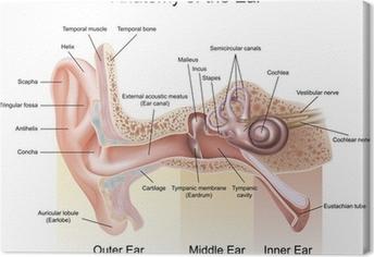 Korvan anatomia Kangaskuva