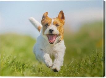 Jack russell terrier koira Kangastuloste