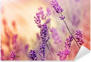 Blødt fokus på smukke lavendel og solstråler - solstråler Pixerstick klistermærke